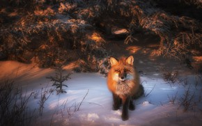 Picture winter, forest, look, light, snow, branches, spruce, Fox, the snow, red, sitting, needles