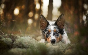Picture sadness, autumn, forest, grass, look, face, trees, nature, pose, Park, background, stems, moss, portrait, dog, ...
