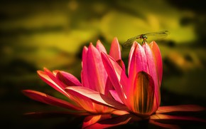 Picture flower, macro, flowers, pond, dragonfly, pink, water lilies, water lilies, water Lily, nymphs