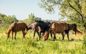 Picture grass, nature, horses, horse, midges