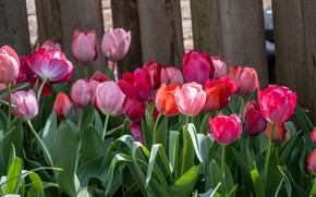 Picture flowers, Board, the fence, spring, garden, tulips, red, pink, a lot