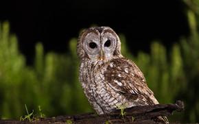 Picture look, the dark background, owl, bird, owl, motley