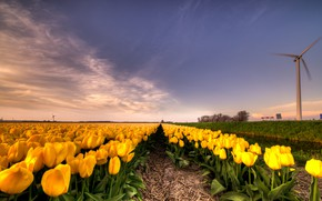 Wallpaper field, the sky, clouds, flowers, perspective, beauty, windmill, spring, yellow, tulips, straw, the beds, Netherlands, ...
