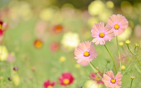 Picture greens, flowers, kosmeya