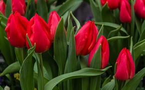 Picture drops, tulips, red, Mark Ritter