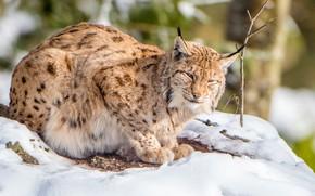 Picture snow, predator, lynx