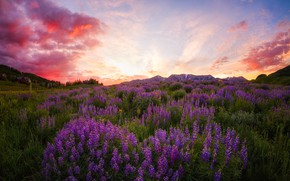 Picture summer, flowers, lupins