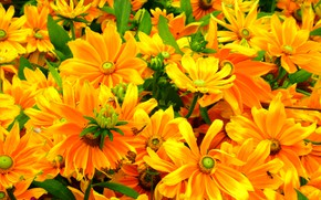 Picture yellow, bright, petals, rudbeckia