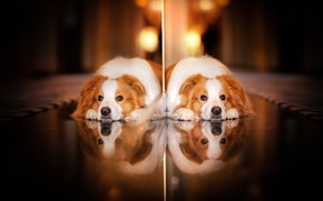 Picture look, reflection, dog
