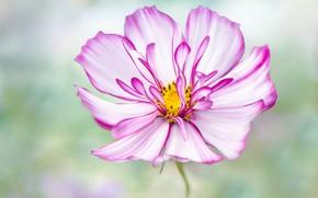 Picture macro, kosmeya, flower, pink, bokeh, petals, summer