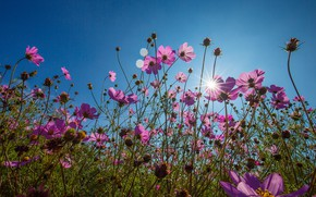 Picture the sky, nature, meadow, kosmeya