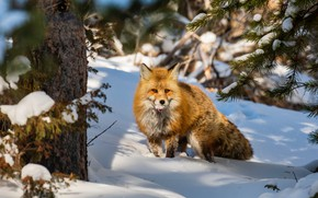 Picture winter, snow, tree, Fox, red