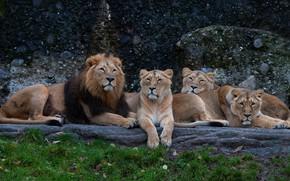 Picture grass, stones, Leo, company, lions, zoo, lie, lioness, pride