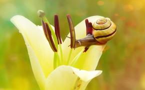 Picture flower, summer, macro, green, background, snail, petals, stamens, yellow, bokeh