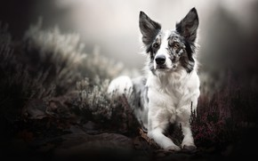 Picture look, nature, dog, lies, the border collie