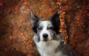 Picture autumn, look, face, leaves, branches, nature, background, foliage, portrait, dog, beauty, the border collie, spotted, ...