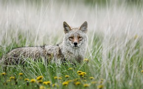 Picture look, face, flowers, grey, wolf, portrait, dandelions, bokeh, coyote