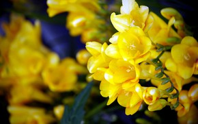Picture background, yellow flowers, Freesia