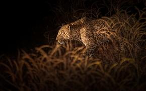 Picture vegetation, leopard, leopard, vegetation, Richard Liu