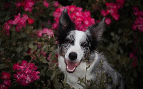 Picture language, summer, look, face, flowers, nature, background, portrait, dog, garden, pink, the border collie, spotted, …