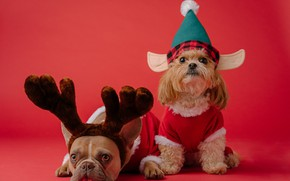 Picture dogs, elf, dog, deer, Christmas, costume, New year, horns, a couple, dwarf, red background, French …