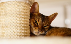 Picture cat, cat, look, face, pose, portrait, light background, scratching post, Abyssinian
