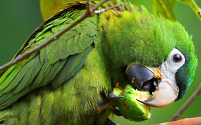 Picture look, pose, green, background, bird, food, beak, parrot, claws, color, lunch, Ara, tail, meal