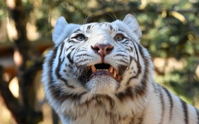 Picture white, look, face, light, tiger, background, portrait, mouth, fangs, roar, bokeh, looking up
