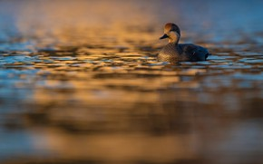 Picture water, bird, blur, duck