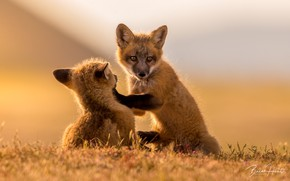 Picture blurred background, play, two Fox