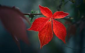 Picture autumn, red, the dark background, leaf, branch, bokeh, maple, maple leaf, autumn leaf