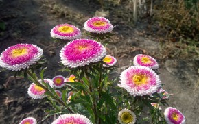 Picture Asters, Забавные, Помпончики