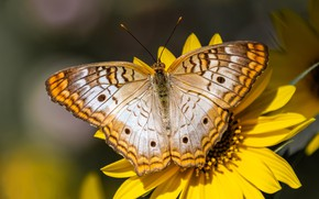 Picture summer, macro, flowers, background, pattern, butterfly, wings, yellow, insect, yellow, bokeh