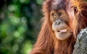 Picture language, red, orangutan