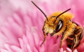 Picture flower, look, macro, bee, pink, petals, insect