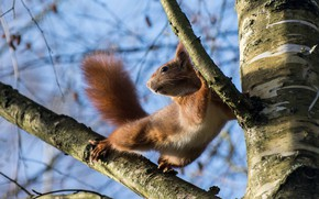 Picture branches, nature, pose, tree, animal, protein, animal, rodent