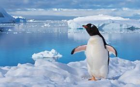 Picture winter, sea, water, snow, pose, bird, ice, iceberg, ice, penguin, ice, wings, Antarctica