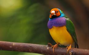 Picture background, bird, branch, Gulidova amadina