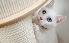 Picture cat, white, cat, look, face, pose, portrait, white, collar, blue eyes, scratching post