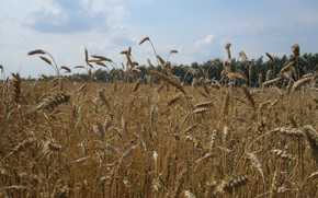 Picture field, summer, harvest, ears