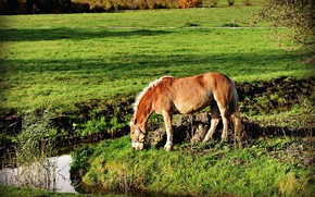 Picture grass, horse, meadow, pond