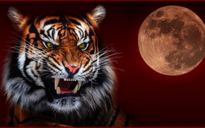Picture night, tiger, the moon