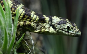 Picture grass, look, pose, background, lizard, reptile, spotted