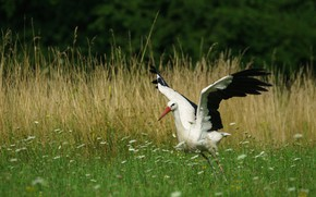 Picture grass, flowers, bird, glade, wings, stork, stroke