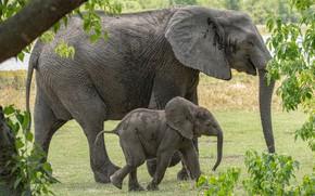 Picture nature, foliage, elephant, baby, pair, elephants, two, the elephant, mother, elephant