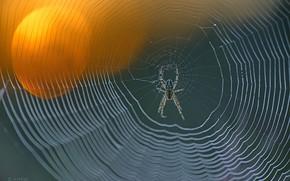 Picture spider, focus, spider web, knit