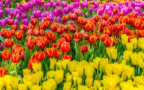 Picture field, flowers, yellow, colorful, tulips, red, pink, field, flowers, tulips