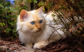 Picture cat, cat, look, face, nature, pose, Bush, garden, red