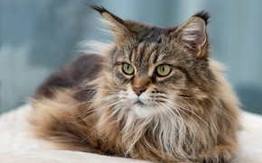 Picture cat, cat, look, face, grey, background, fluffy, lies, Maine Coon