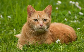 Picture cat, grass, cat, look, face, flowers, pose, red, green background